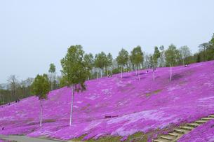 滝上公園の芝桜の写真素材 [FYI01928352]