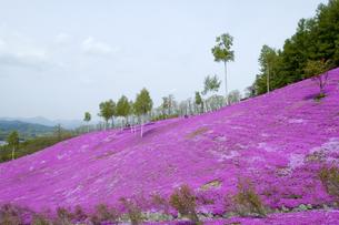 滝上公園の芝桜の写真素材 [FYI01928438]