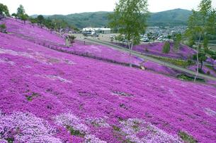滝上公園の芝桜の写真素材 [FYI01928483]