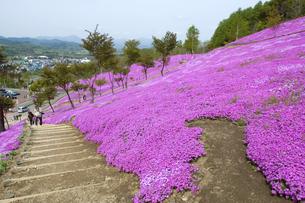 滝上公園の芝桜の写真素材 [FYI01928579]