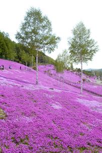 滝上公園の芝桜の写真素材 [FYI01928588]