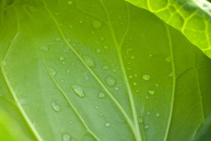 水滴のついたキャベツの写真素材 [FYI01928937]