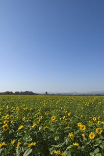 ヒマワリ畑の写真素材 [FYI01929015]