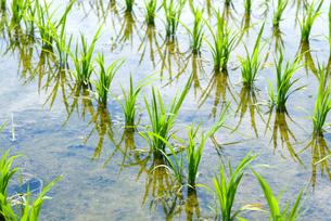 稲の苗の写真素材 [FYI01929075]