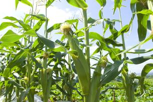 トウモロコシ畑の写真素材 [FYI01929078]