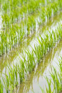 稲の苗の写真素材 [FYI01929122]