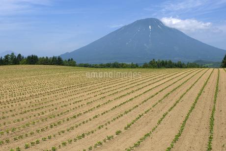 小豆畑と羊蹄山の写真素材 [FYI01929132]