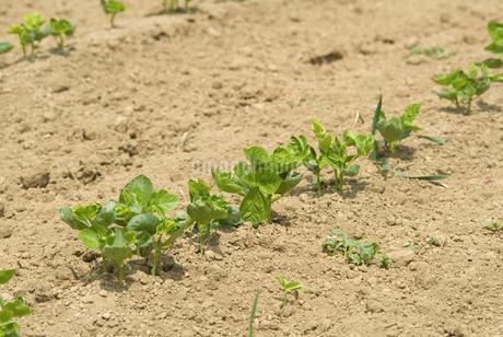 小豆畑の写真素材 [FYI01929229]