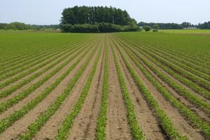 大豆畑の写真素材 [FYI01929264]
