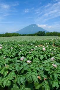 ジャガイモ畑と羊蹄山の写真素材 [FYI01929265]