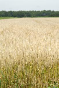 麦畑の写真素材 [FYI01929275]