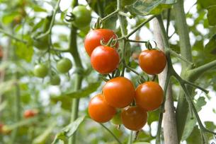 トマトの写真素材 [FYI01929302]