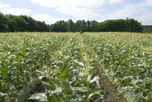トウモロコシ畑の写真素材 [FYI01929303]