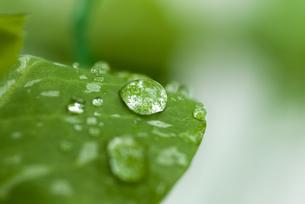 水滴のついたサヤエンドウの葉の写真素材 [FYI01929321]