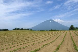 小豆畑と羊蹄山の写真素材 [FYI01929328]