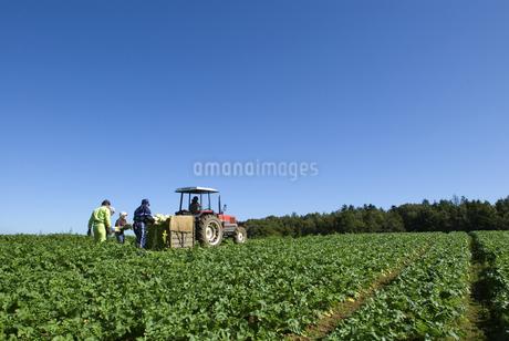 ダイコン畑の写真素材 [FYI01929385]