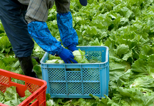 レタスの収穫の写真素材 [FYI01929397]