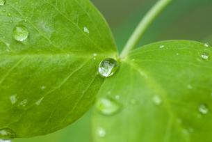水滴のついたサヤエンドウの葉の写真素材 [FYI01929471]