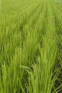 稲の写真素材 [FYI01929757]