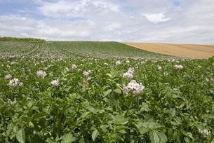 ジャガイモ畑の写真素材 [FYI01929921]