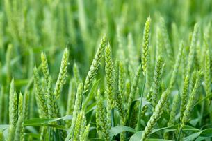 麦畑の写真素材 [FYI01930085]