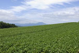 ジャガイモ畑の写真素材 [FYI01930174]