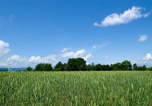 麦畑の写真素材 [FYI01930202]