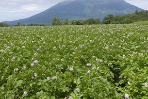 ジャガイモ畑の写真素材 [FYI01930715]