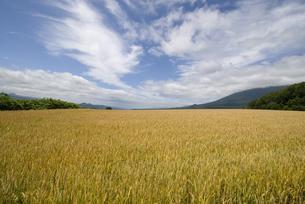 小麦畑の写真素材 [FYI01931054]
