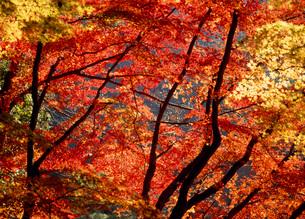 足助町香嵐渓の紅葉の写真素材 [FYI01936707]