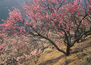 幕山公園の湯河原梅林の写真素材 [FYI01938635]