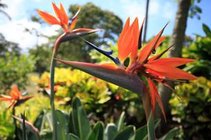 マウイ島の極楽鳥花の写真素材 [FYI01938824]