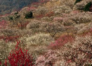 幕山公園の湯河原梅林の写真素材 [FYI01940421]