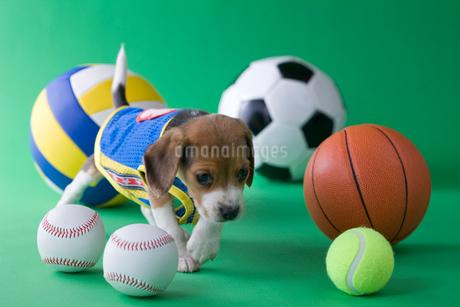 ビーグルのスポーツイメージの写真素材 [FYI01941443]