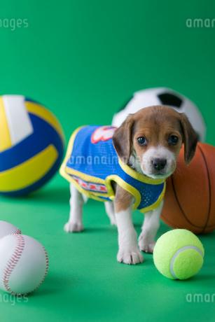 ビーグルのスポーツイメージの写真素材 [FYI01941579]