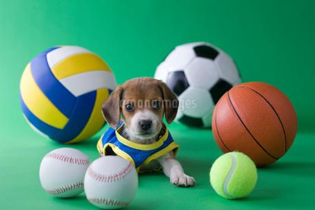 ビーグルのスポーツイメージの写真素材 [FYI01941824]