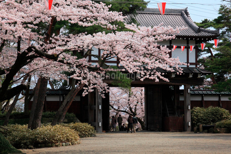 千秋公園久保田城表門と桜の写真素材 [FYI01942662]
