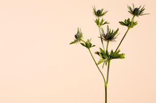 花(エリンジウム)の写真素材 [FYI01943198]