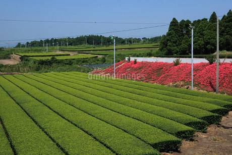 茶畑 頴娃町の写真素材 [FYI01943821]