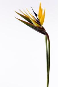 花(ストレイチア)の写真素材 [FYI01945034]