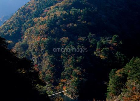 秋の寸又峡 夢の吊橋の写真素材 [FYI01945229]