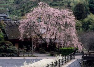シダレザクラ 賀名生皇居跡の写真素材 [FYI01945518]
