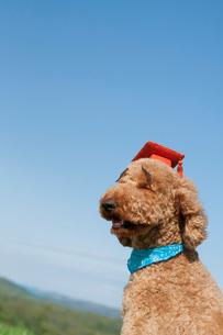 眉毛を付け学生帽を被ったプードル犬の写真素材 [FYI01946596]