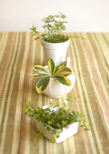 白い器に入れた三つの観葉植物の写真素材 [FYI01946679]