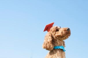 眉毛を付け学生帽を被ったプードル犬の写真素材 [FYI01947069]