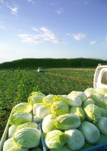 トラックの荷台に積まれた白菜の写真素材 [FYI01953260]