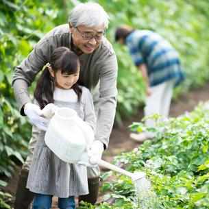 畑で水やりをする祖父と孫の写真素材 [FYI01953662]