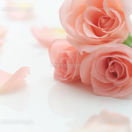 テーブルに置かれたバラの写真素材 [FYI01953797]