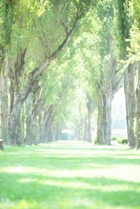 ポプラ並木の写真素材 [FYI01955299]