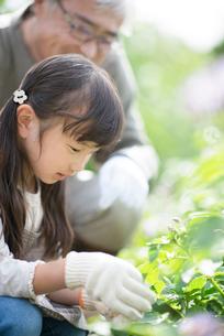 畑で植物の観察をする孫と祖父の写真素材 [FYI01955306]